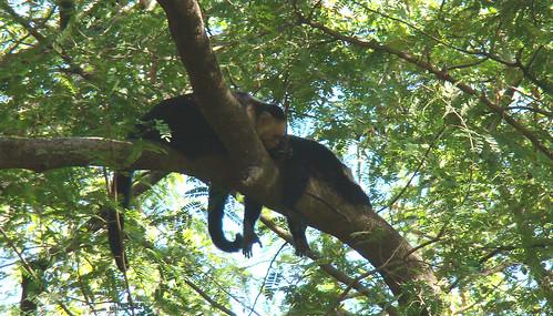 Palo Verde, monos sobre el sitio de acampar, feb.09