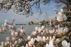 Wasserburger Halbinsel mit Magnolienblüten (nachtschwimmer.com) Tags: kirche bodensee wasserburg stgeorg halbinsel magnolienblüte top20bavaria top20bavaria20