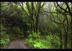 Anaga  y su laurisilva (Manolo Marrero) Tags: nature landscape camino paisaje canarias bosque tenerife canary teneriffa sendero senda piata vegetacion anaga laurisilva foresr pistacabezodeltejo