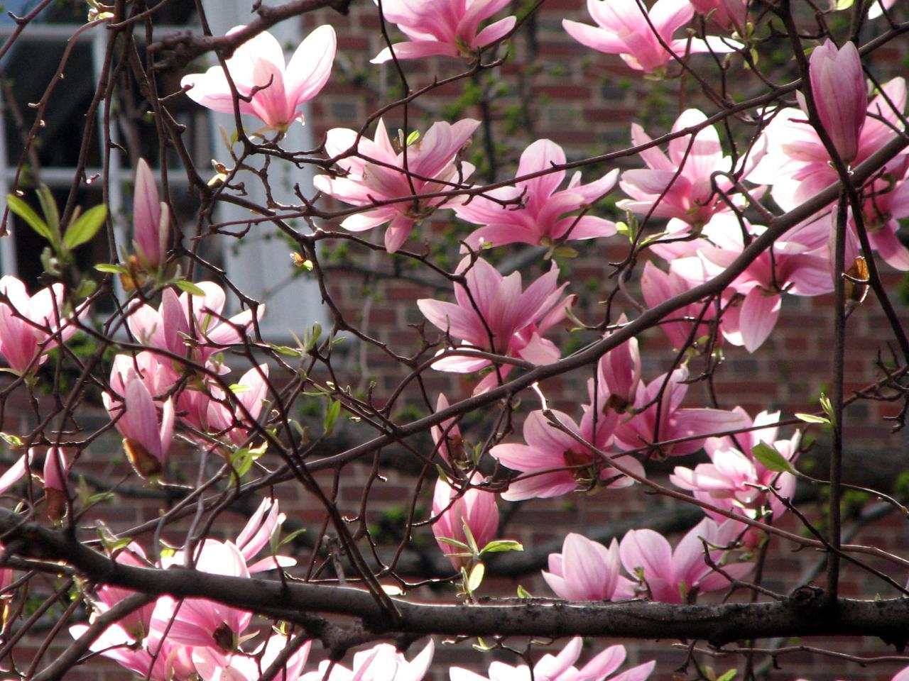 04.16.09 Magnolias