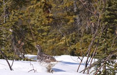 Grouse (David Cartier) Tags: apr22