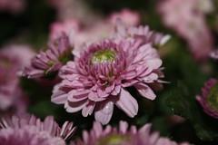 IMG_1611 (UmmAbdrahmaan @AllahuYasser!) Tags: flowers flower malaysia bunga terengganu udm kualaterengganu wonderfulworldofflowers universitidaruliman ummabdrahmaan kampuskusza convocation2009 convo2009