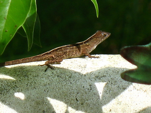 Lizard on the birdbath
