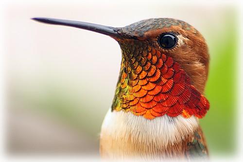 Allen's Hummingbird1608091