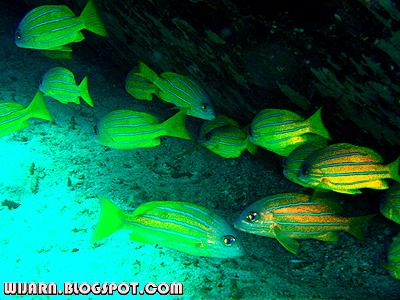 ฝูงปลากระพงเหลืองห้าเส้น