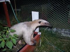 Anteater in the garden
