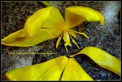 What becomes of the broken 'arted? (W J (Bill) Harrison) Tags: nature yellow petals colours sony tulip heartbreak picnik flickrestrellas dabblesandart