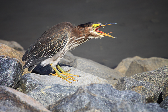 090909_greenHeron03