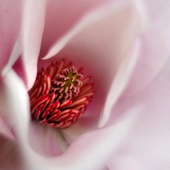 Magnolificent... (Mary Trebilco) Tags: pink flower macro nature canon garden spring explore magnolia hobart oa flowerotica floralessence macroflowerlovers superbmacroflowers awesomeblossoms vosplusbellesphotos canoneos1000d gettycallforartists