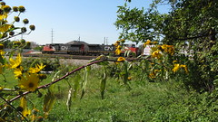 Canadian National freight train with plant life in the foreground. Schiller Park Illinois. Late September 2009.