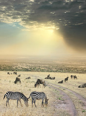 Once Upon a Time in Kenya - 6 - (Ben Heine) Tags: voyage africa travel light wallpaper cloud mist mountain art nature field grass misty print poster gold freedom golden mix dof calendar cloudy kenya pov path lumire magic hill group meadow compo nikond70s bull adventure safari together libert harmony zebra dust sunrays copyrights bison ensemble depth chemin ecosystem magie bigfive wildanimals highres sauvage aventure herbes zbre troupeau poussire pturage rservenaturelle brouter rayonsdusoleil benheine platinumphoto hubzay flickrunitedaward onceuponatimeinkenya infotheartisterycom