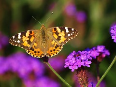 Distelfalter = West Coast Lady = Vanessa Annabella = Painted Lady (Andy von der Wurm) Tags: west macro nature animal closeup fauna lady butterfly germany insect coast flora painted papillon makro mariposa insekt tier annabella potofgold vannessa distelfalter nahaufname hobbyphotograph spiritofphotography peregrino27macro andreasfucke