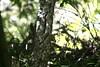 IMG_3980 茶腹鳲 (Natural Kingdom) Tags: sittaeuropaea 武陵農場 wuling eurasiannuthatch 茶腹鳲 鳲科