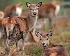 Doe A Deer............... (anthony marston) Tags: doe deer cannon bradgatepark rutt