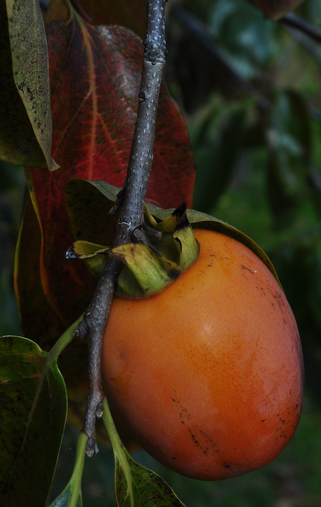 Asian Persimmon (Diospyros kaki) 2.1