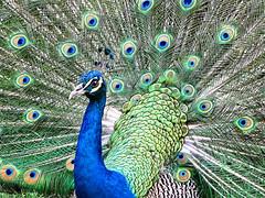 Peacock Display (Oldt1mer - Keith) Tags: blue holiday bird eye colours display peacock jamaica royaldecameron tailfeathers runawaybay mygearandme mygearandmepremium mygearandmebronze mygearandmesilver mygearandmegold mygearandmeplatinum mygearandmediamond