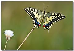 Swallowtail -  Papilio  machaon #1 (Lior Dar) Tags: flower macro yellow butterfly israel aperture nikon branch dof bokeh flash jerusalem depthoffield getty blueribbonwinner coth polestar greatphotographers macroextreme macrolicious topshots beautifulphoto physis abigfave ourplanet ultimateshot flickraward macrophotosnolimits magicofaworldinmacro theunforgettablepictures buzznbugz macrolife theperfectphotographer ahqmacro multimegashot macrosdenaturaleza abovealltherest nikonflickraward grouptripod colorsofthesoul nikonsb900 thebestmacrophotos artofimages primemacro fabbow oneofmypics flickraward nikonflickrawardgold platinumbestshot platinumpeaceaward flickrunitedaward thebestofcengizsqueezeme2groups bestofisraelproject2009 swallowtailpapiliomachaon mygearandme nikonmicro200f4