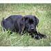 20110617 Black Labrador Retriever
