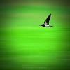 Pray For MH370   Doa Untuk MH370 (AnNamir™ c[_]) Tags: blur bird nature nikon birding sigma motionblur 70200 malaysiaairlines kualakubu abigfave annamir burunglayanglayang pesawatmas boeng777 prayformh370 mh370 doauntukmh370 pray4mh370 prayformh370b
