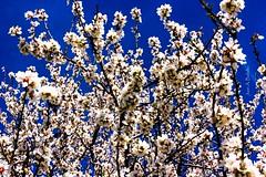 Flores al cielo (Juan A. Bafalliu) Tags: santacruz flores azul cielo marzo almendro flordealmendro
