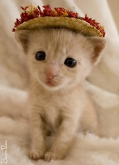 20080804_7163b (Fantasyfan.) Tags: pet baby flower cute hat animal topv111 tag3 taggedout pose furry topv555 topv333 kitten tag2 tag1 topv1111 young kitty fluffy topv5555 juxtaposition topv3333 topv4444 fantasyfanin cuteoverload elfaba catwithahat highqualityanimals siirretty