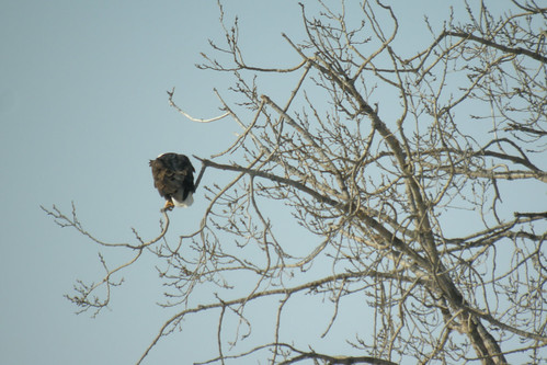 Bald Eagle (Digiscoped)