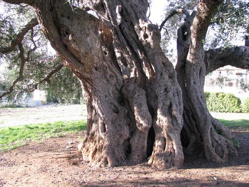 Old Olive Tree (6)