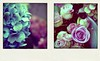 floraloids 1 & 2 (hanna.bi) Tags: pink flowers blue roses mauve hydrangeas fakepolaroid hannabi poladroid