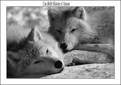 Une Belle Histoire d`Amour (beluga 7) Tags: white black love noir story amour histoire loup blanc soe wolfe blueribbonwinner firstquality mywinners platinumphoto anawesomeshot simplysuperb photoquebec vosplusbellesphotos