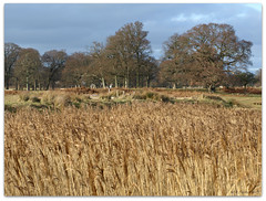 Reedbed (ExeDave) Tags: park uk winter england plant reed nature grass reeds geotagged oak afternoon january devon gb 2009 lateafternoon parkland reedbed powderham wildgrass blueribbonwinner phragmitesaustralis commonreed teignbridge powderhampark veterantrees moreorlessastaken gramminoid geo:lat=50642249 geo:lon=3452926