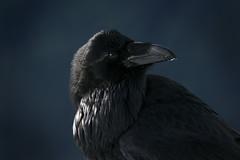 The Raven Turns (Bhlubarber) Tags: dog mountain black bird nature animal vancouver snowshoe north shore seymour raven davidniddrie