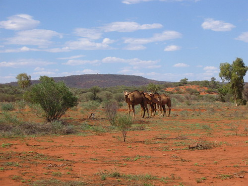 feral camels by andreakw