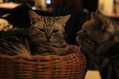 Ma:... (w.wei) Tags: pet animal cat canon sushi kitten kat chat gorgeous adorable kitty gato meow neko katze  gatto kot koka   katt kissa maka machi     pisic  catnipaddicts