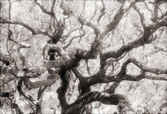 Twisty Trees (Jamie Powell Sheppard) Tags: trees blackandwhite bw art film ir photo florida fineart oaks canonae1program staugustine sepiatone twisty lighthousemuseum 50mmlens 35mmslr femalephotographer hc110dilb woodeffect 29darkredfilter kodakhiebwinfrared