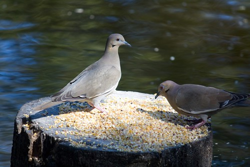 mourning doves photo by Adrienne Zwart