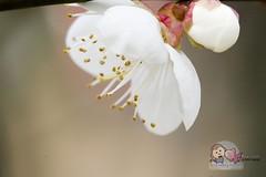 Plum Blossom  (Alva Chien) Tags: shanghai  plumblossom  centurypark