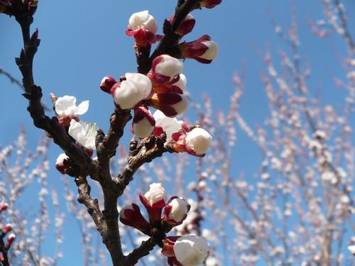 108::365 apricot tree