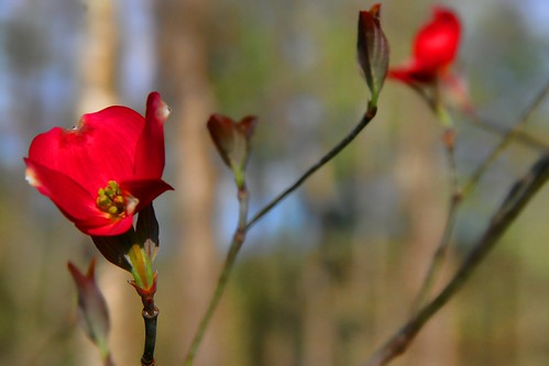 Dogwood Red