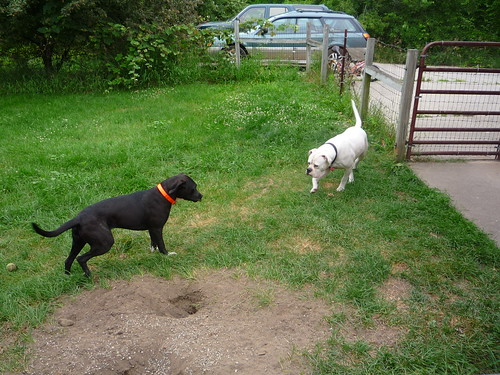 pepper and iggy in the yard