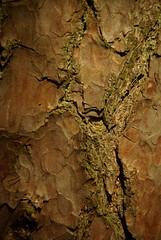 Tree Bark (Lil Shepherd) Tags: trees bark clumberpark
