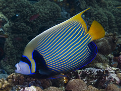 Emperor angelfish (Paul Flandinette) Tags: ocean fish photography nikon underwater angelfish komodo underwaterphotography pomacanthusimperator emperorangelfish beautifulfish paulflandinette