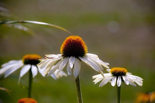 daisy closeup sweden