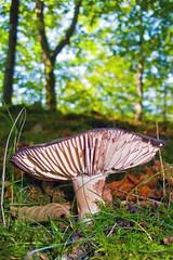 Russula sp. (Iñigo Mujika.) Tags: macro bosque monte montaña seta hongo hongos setas macrofotografia macrofoto oiartzun onddo perretxiko ziza russulasp