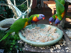 The Food Here Is Great! (End of Level Boss) Tags: birds gold coast australia qld queensland colourful 2008 lorikeets hinterlands mttamborine thepolishplace