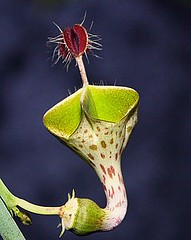 Ceropegia Haygartii (Ascleps) Tags: ceropegia ascleps