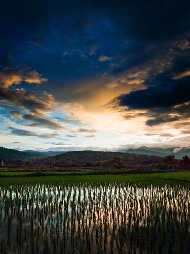 フリー画像| 自然風景| 田園風景| 田んぼ/水田| 稲/ イネ| タイ風景|      フリー素材|