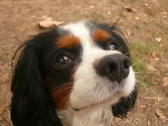 The Dreamer (ALMartino Fiero del mio sognare) Tags: dog love animal cane marx dreamer amore animale occhioni eccolo nasone sognatore almartino sognante cavalierkingcharlessopaniel
