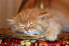 Shiri sleeping (Abdalla Naas) Tags: sleeping animal cat shiri bestofcats boc0909 memorycornerportraits