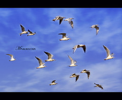 Don't you think >> I Belive I Can Fly !!! (mr.alsultan) Tags: sky bird birds clouds canon eos fly sigma kuwait xsi q8 105mm kwt      450d