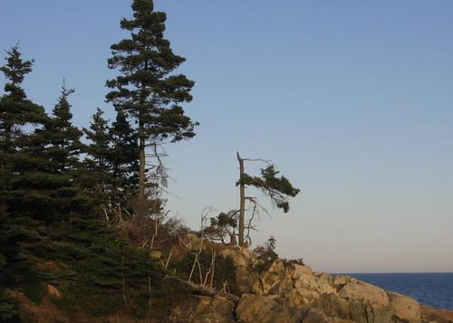 Dismasted tree